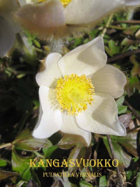 KangasvuokkoSulkavaA20110508