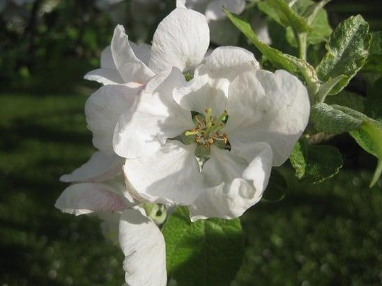 Omenankukka20140526