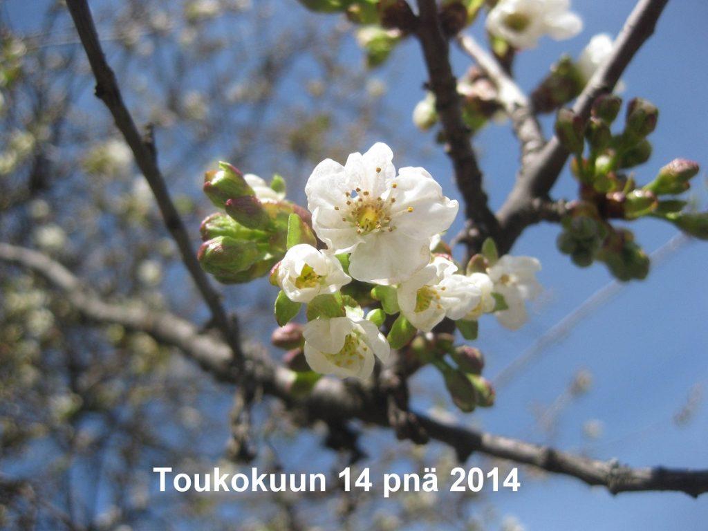 Toukokuunkirsikka2014