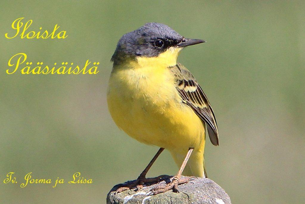 Keltasirkku Iloista pääsiäistä Jorma Liinoja 20190418