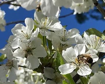 Kirsikka ja pörriäinen 20200529