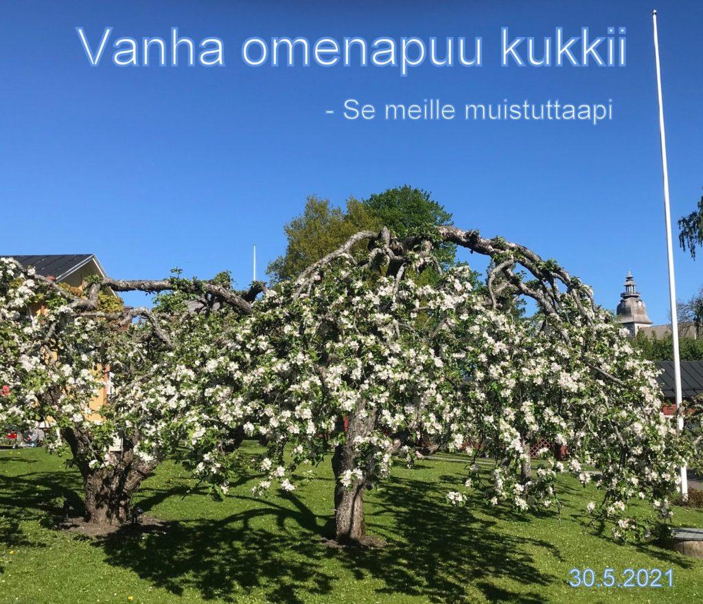 Vanha omenapuu kukkii 20210530